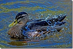 Water Off A Ducks Back