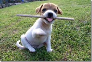 Jack Russell with a stick