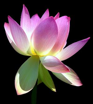 Lotus_DS