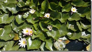 Lotus Flowers - Poison Into Medicine