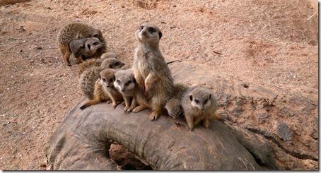 Meerkat Mayhem @ Bristol Zoo