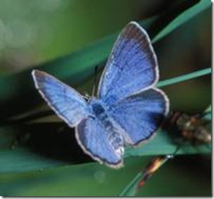 The Palos Verdes Blue - Rare And Fragile