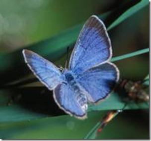 The Palos Verdes Blue - Rare And Fragile