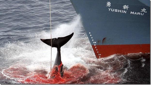 Japanese Whalling Vessel Yushin Maru