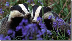 Badgering The Scientists