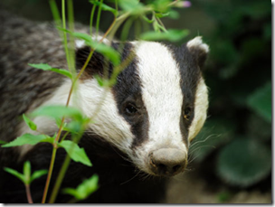 Save Our Badgers
