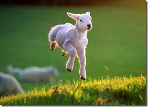 English Lamb, Prior To Slaughter