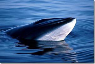 Minke Whales - Safe For Now